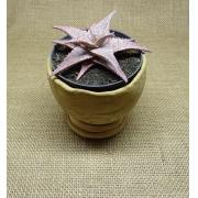 Aloe 'Bright Star' (Aloe 'Donnie)