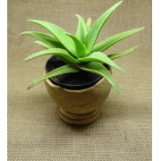 Aloe ×delaetii