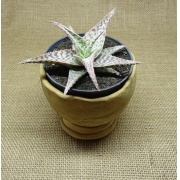 Aloe 'Delta Dawn'
