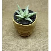 Aloe 'Diego'