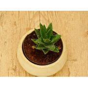 Aloe × nobilis