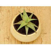 Aloe rauhii 'Snowflake'