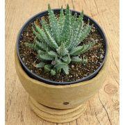 Aloe humilis 'Echinata'