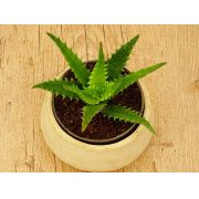 Aloe congolensis