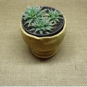 Aloe 'Pepe' (3 mudinhas/P11)