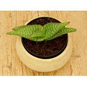 Aloe prinslooi