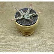 Aloe 'Snow Lizzard'