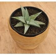 Aloe 'Little Gator'