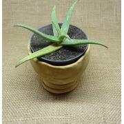 Aloe sp4
