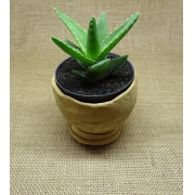 Aloe  xnobilis