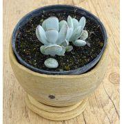 Cotyledon cv. 'Oophylla'