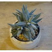 Crassula mesembryanthemoides 'Tenelli'