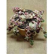Crassula pellucida variegata