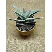 Crassula perfoliata