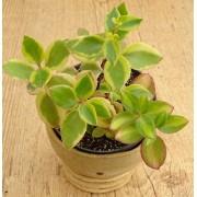 Crassula sarmentosa variegata 2