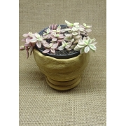 Crassula volkensis variegata