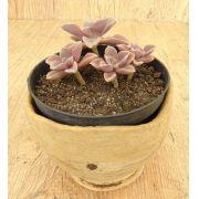 Echeveria bicolor