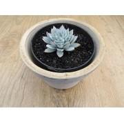 Echeveria 'Blue Star'