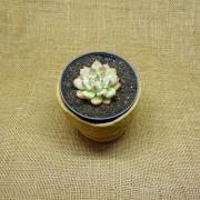 Echeveria colorata 'La Autentica'