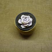 Echeveria 'Crispate Beauty' - mutação da Echeveria lilacina