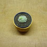Echeveria 'Globulosa'