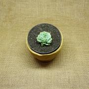 Echeveria macadamia