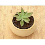 Echeveria paniculata