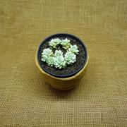 Echeveria prolifica variegata