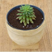 Echeveria 'Spruce-Oliver'