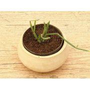 Euphorbia appariciana