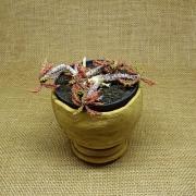 Euphorbia decaryii spirostica