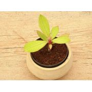 Euphorbia grantii ou Synadenium grantii (Euph)