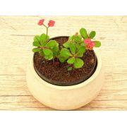 Euphorbia millii vermelha