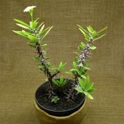Euphorbia millii amarela