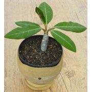 Euphorbia millotti