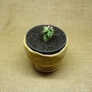Euphorbia polygona monstruosa
