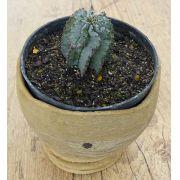 "Euphorbia polygona ""Snowflake'"