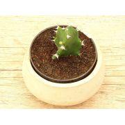 Euphorbia tortilis