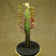 Euphorbia trigona Red form