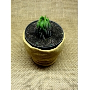 Haworthia coarctata var. greenii