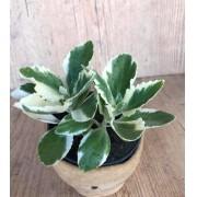 Kalanchoe laciniata variegata