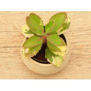 Kalanchoe variegata (brasileirinho)