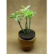 Monadenium coccineum