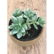 Sedum 'Alice Evans' variegata