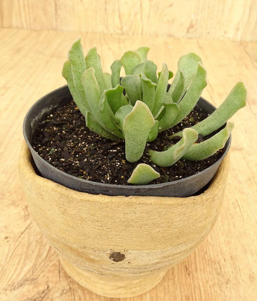 Adromischus cristatus var. clavifolia