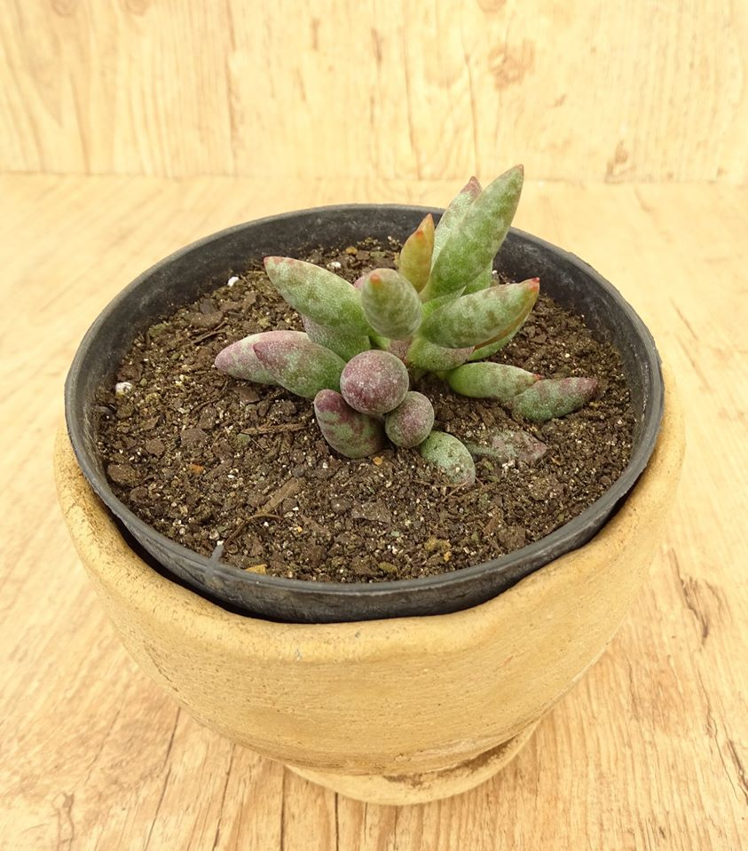 Adromischus filicaulis ssp. 'Filicaulis'