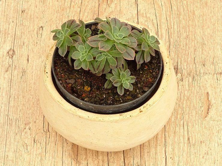 Aeonium castello-paivae sarae