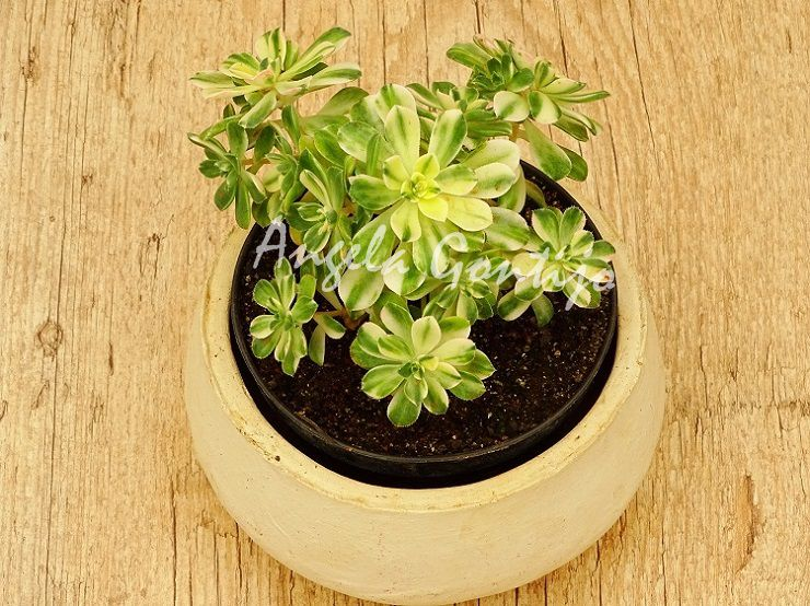 Aeonium castello-paivae variegata  - Suculentas Angela Gontijo
