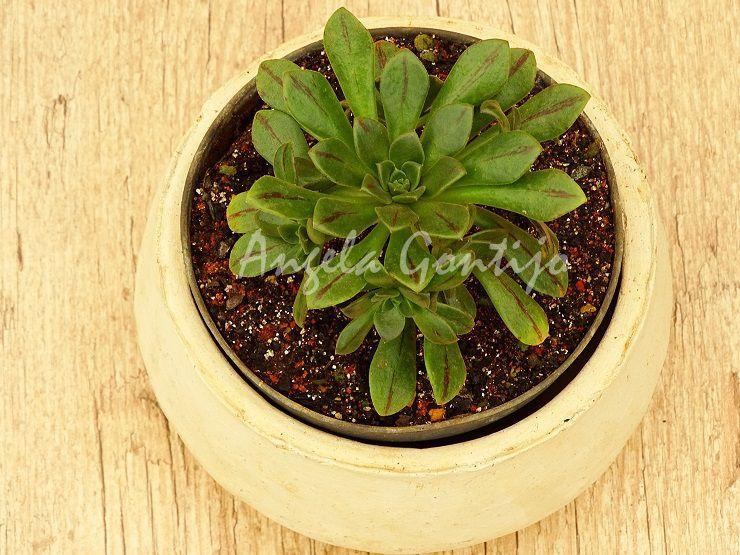 Aeonium occidentale