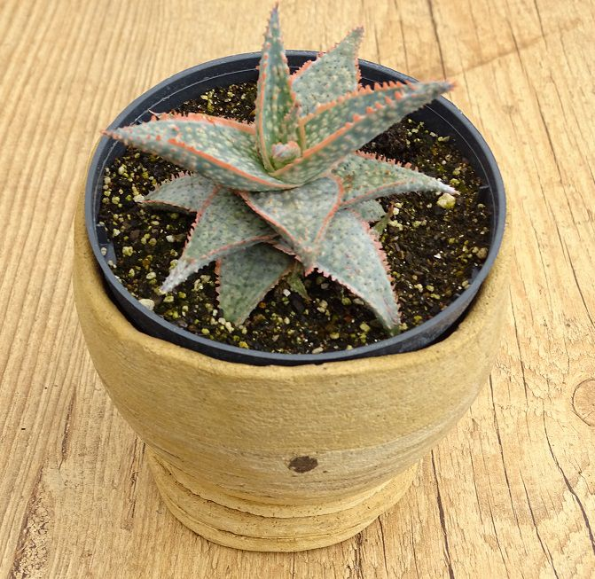 Aloe 'Christmans Carol'